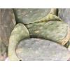Figenkaktus Blade (Ficus Optunia) kan bruges som foder til land skildpadder og skægagamer