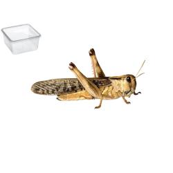 Græshoppe Xlarge 10 Pr. æske - Europæisk