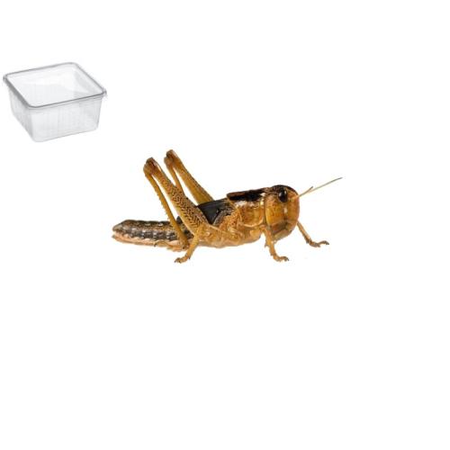 Græshoppe Medium 13 Pr. æske - Europæisk