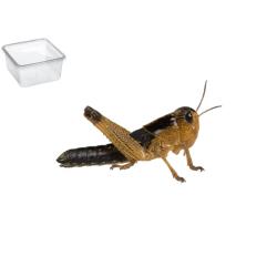Græshoppe Large 11 Pr.  æske - Europæisk