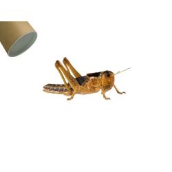 Græshoppe medium 100 Stk. i rør - Europæisk