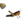 Græshoppe large i rør - Europæisk