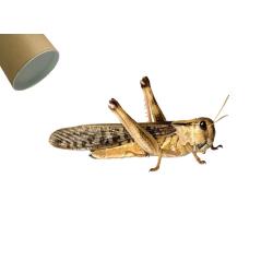 Græshoppe Xlarge i rør - Europæisk