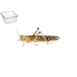 Græshoppe Xlarge 9 Pr. æske - ørken