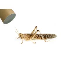 Græshoppe Xlarge i rør - Ørken