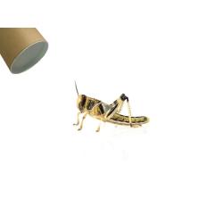 Græshoppe large i rør - Ørken
