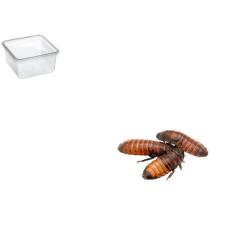 Hvæsende kakelaker Xlarge 3 Pr. æske