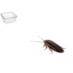 Dubia kakerlakker Xlarge 10 Pr. Æske