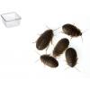 Dubia kakerlakker Medium 13 stk.