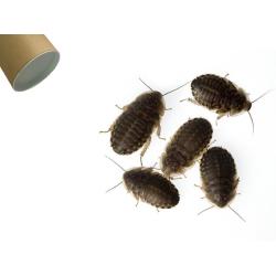 Dubia kakerlakker middel 100 stk.
